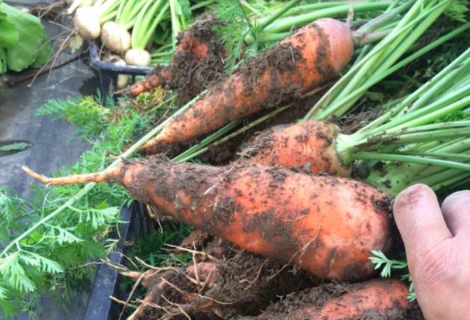 kariya-carrot